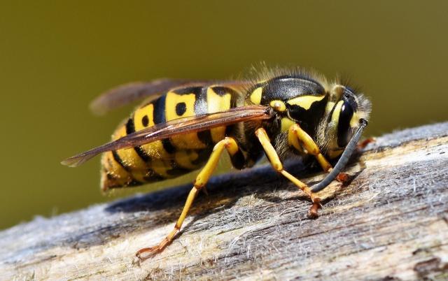 Hallan una avispa en Suramérica que ataca con un enorme aguijón